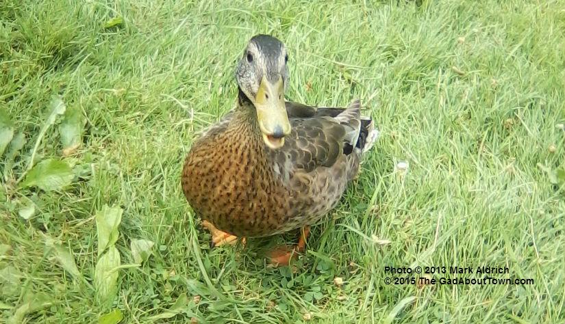 duck edited